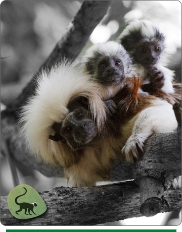 apopta-un-mico-titi