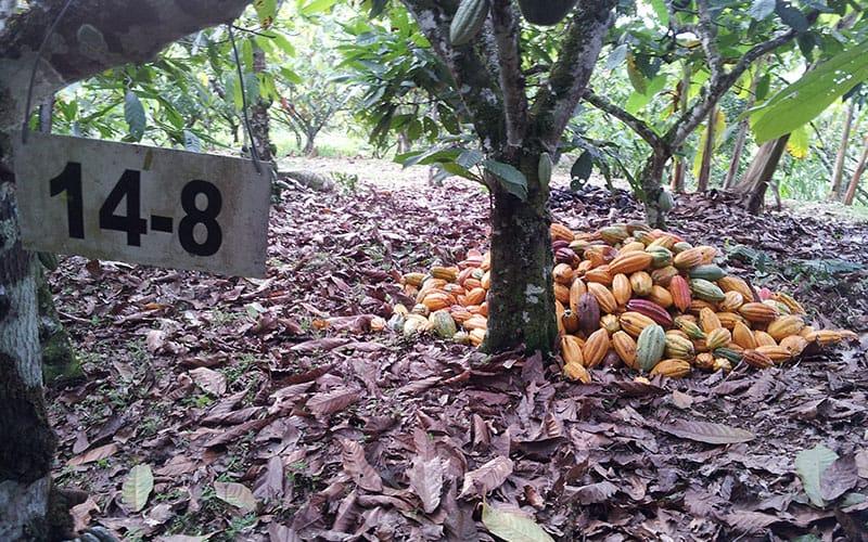 Recolección De Cacao | San Vicente De Chucuri Santander